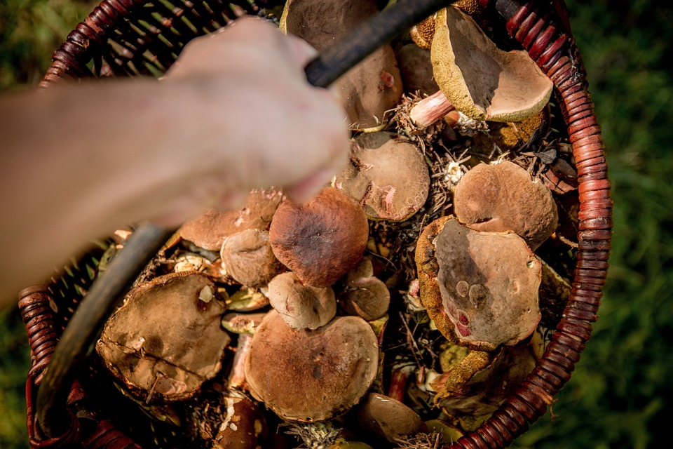 Funghi Porcini in Lombardia