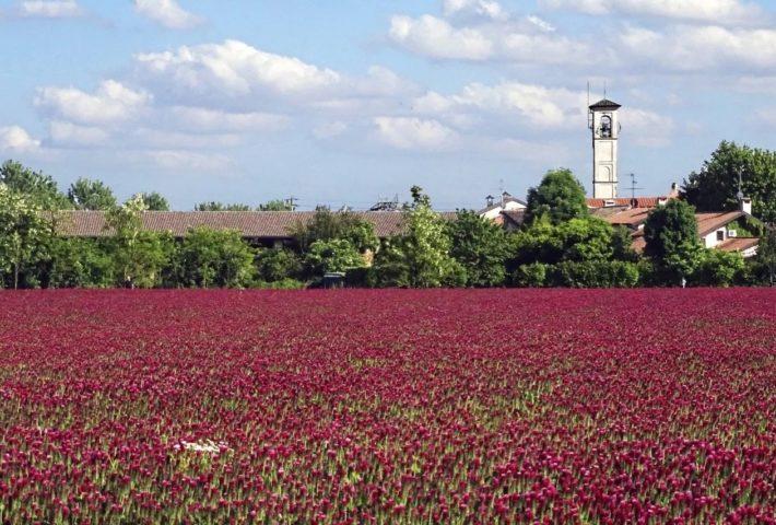 Prati rossi alle porte di Milano: l'enorme distesa di trifoglio incarnato